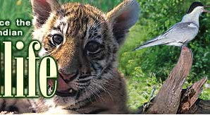 There are only      tigers left in India  constantly living in danger and  on the brink of extinction  Find out why you should teach your kids to  worry about